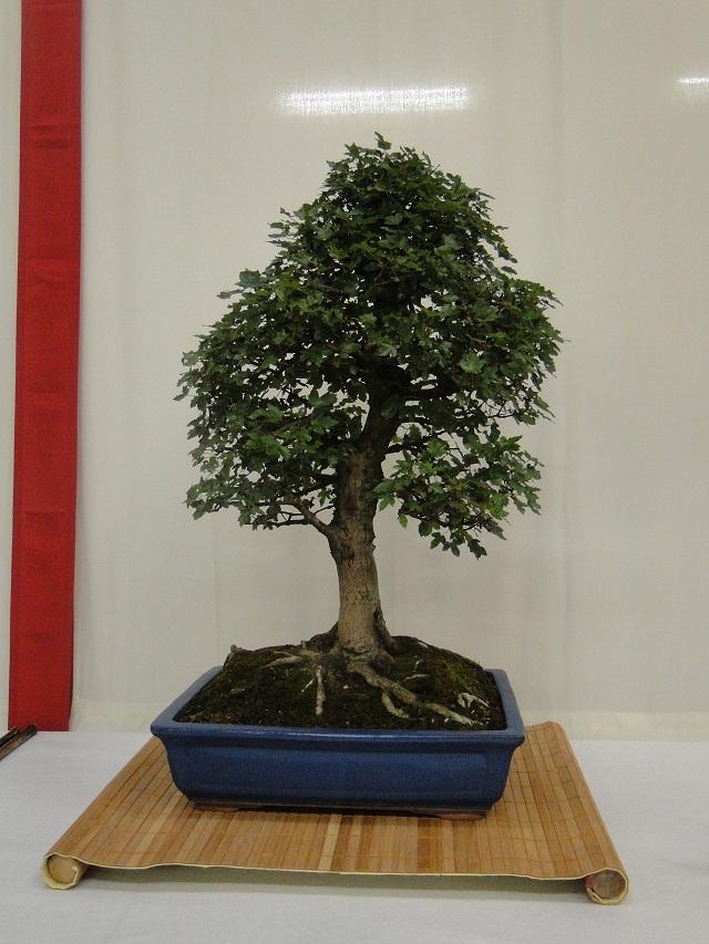 re:maulévrier(49)22°salon du bonsai 8et9septembre 2012 - Page 3 03910