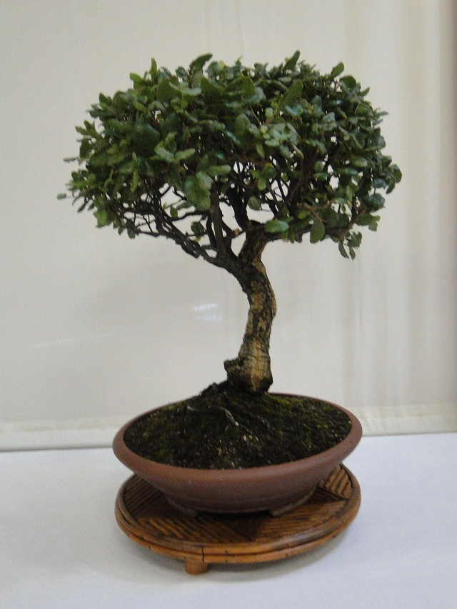 re:maulévrier(49)22°salon du bonsai 8et9septembre 2012 - Page 2 04210