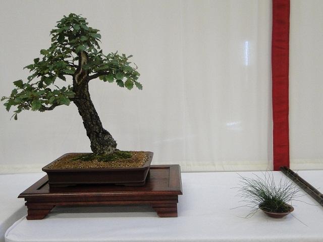 re:maulévrier(49)22°salon du bonsai 8et9septembre 2012 - Page 3 04410