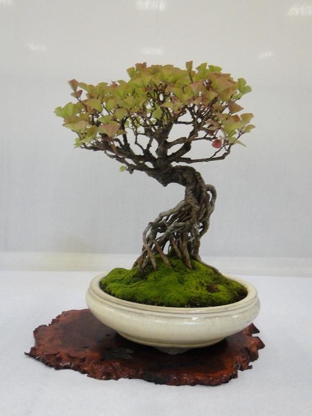 re:maulévrier(49)22°salon du bonsai 8et9septembre 2012 - Page 3 04610