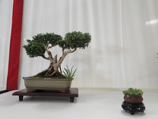 re:maulévrier(49)22°salon du bonsai 8et9septembre 2012 - Page 3 05310