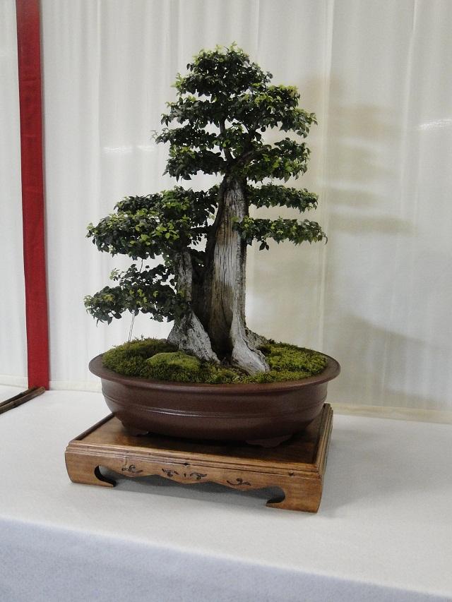 re:maulévrier(49)22°salon du bonsai 8et9septembre 2012 05410