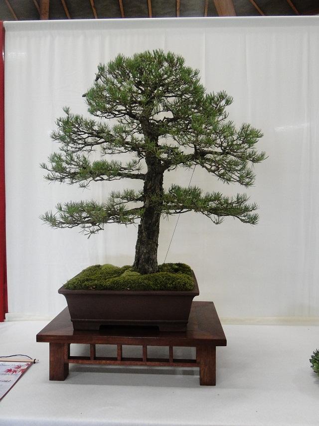 re:maulévrier(49)22°salon du bonsai 8et9septembre 2012 05510