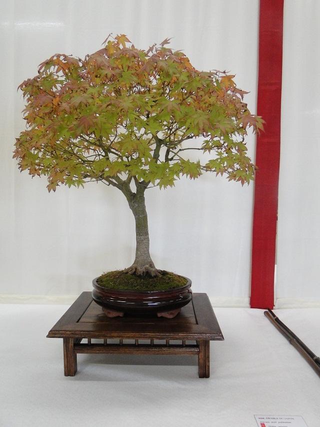 re:maulévrier(49)22°salon du bonsai 8et9septembre 2012 - Page 2 05610