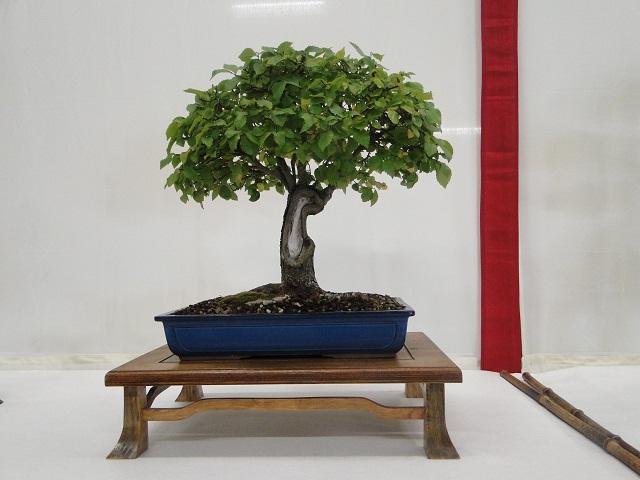 re:maulévrier(49)22°salon du bonsai 8et9septembre 2012 - Page 3 05811
