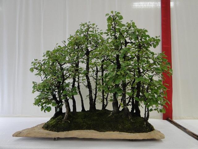 re:maulévrier(49)22°salon du bonsai 8et9septembre 2012 06510