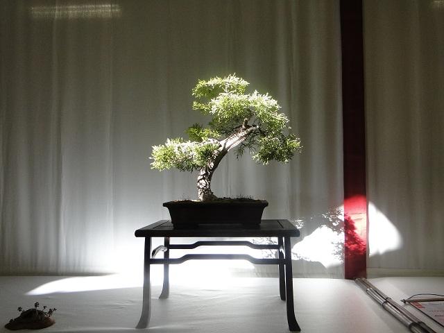 re:maulévrier(49)22°salon du bonsai 8et9septembre 2012 06610