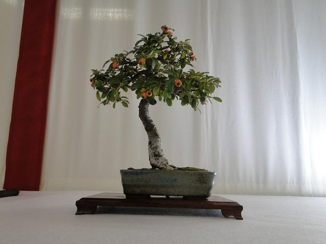 re:maulévrier(49)22°salon du bonsai 8et9septembre 2012 - Page 3 06710