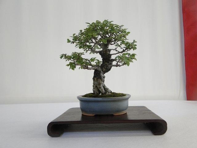re:maulévrier(49)22°salon du bonsai 8et9septembre 2012 - Page 3 06810