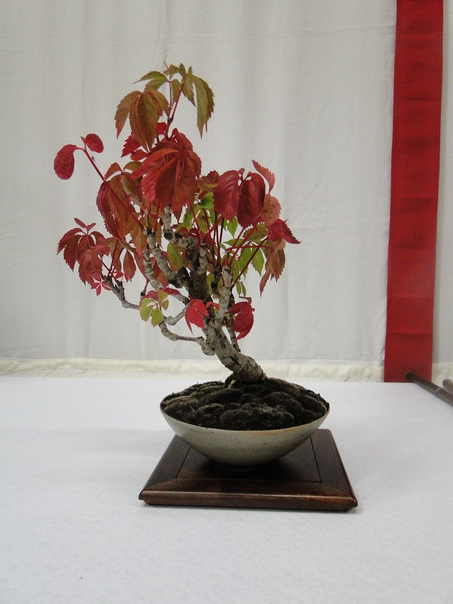 re:maulévrier(49)22°salon du bonsai 8et9septembre 2012 - Page 3 07210