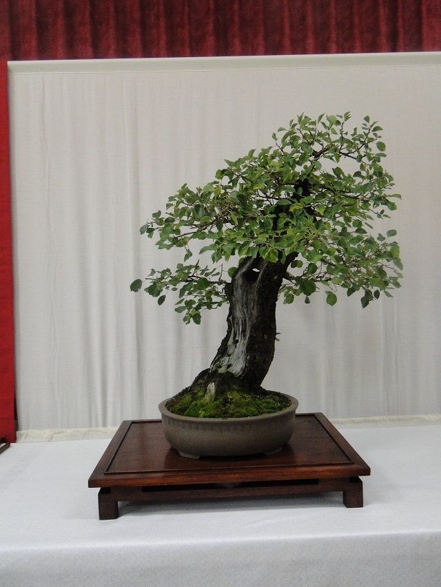 re:maulévrier(49)22°salon du bonsai 8et9septembre 2012 07511
