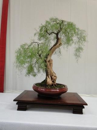 re:maulévrier(49)22°salon du bonsai 8et9septembre 2012 07610