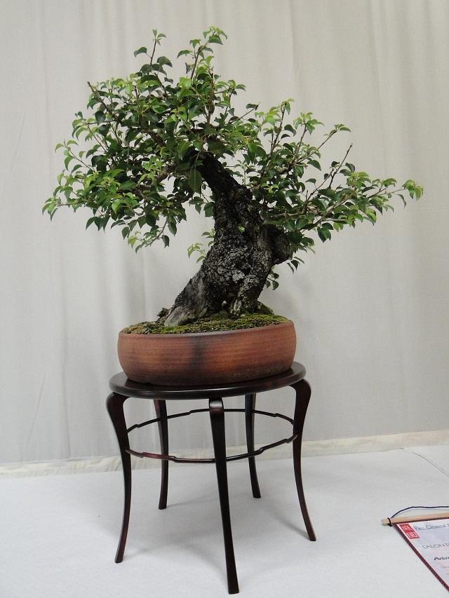 re:maulévrier(49)22°salon du bonsai 8et9septembre 2012 07710