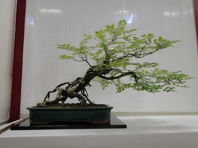 re:maulévrier(49)22°salon du bonsai 8et9septembre 2012 08010