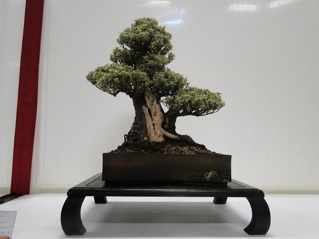 re:maulévrier(49)22°salon du bonsai 8et9septembre 2012 - Page 2 08110