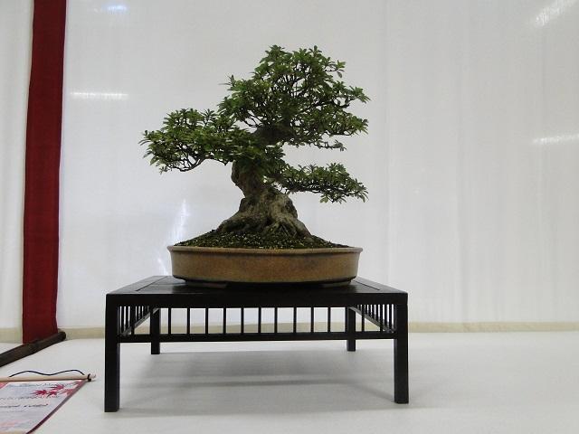 re:maulévrier(49)22°salon du bonsai 8et9septembre 2012 - Page 3 08310