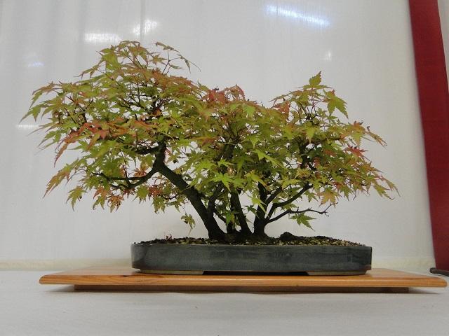 re:maulévrier(49)22°salon du bonsai 8et9septembre 2012 - Page 2 08410