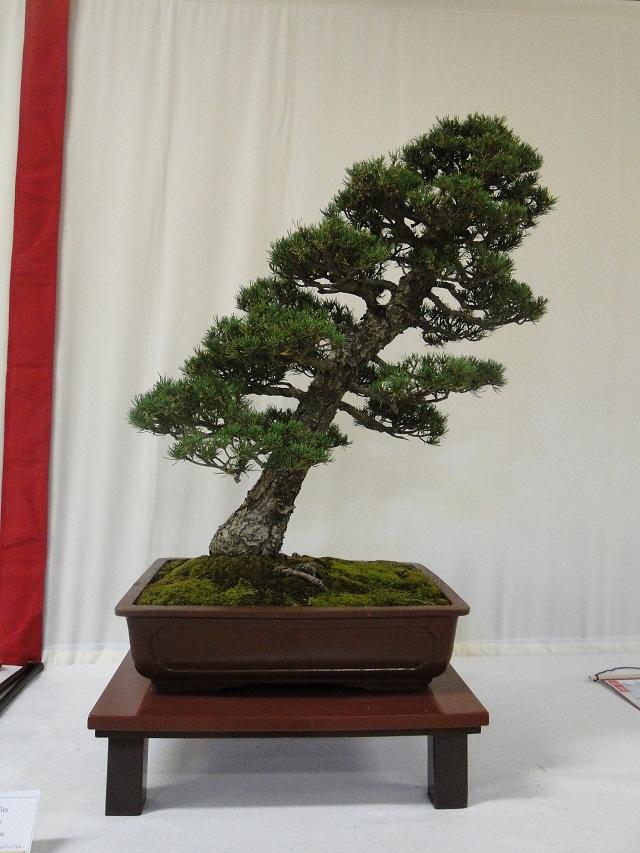 re:maulévrier(49)22°salon du bonsai 8et9septembre 2012 - Page 3 08610