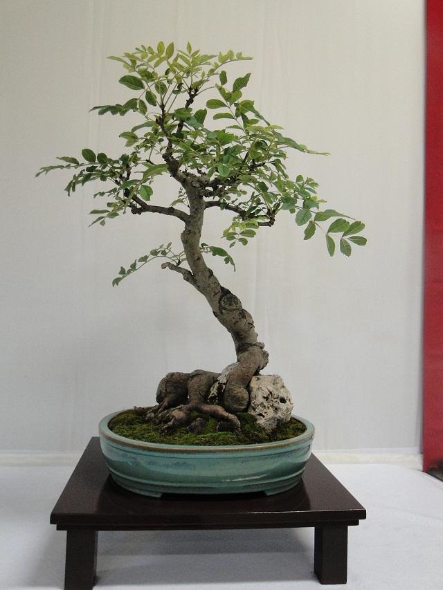 re:maulévrier(49)22°salon du bonsai 8et9septembre 2012 - Page 4 08710