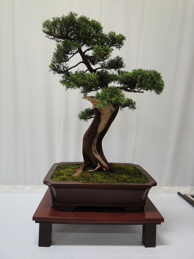 re:maulévrier(49)22°salon du bonsai 8et9septembre 2012 08810