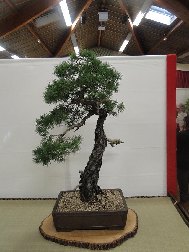 re:maulévrier(49)22°salon du bonsai 8et9septembre 2012 - Page 2 12810
