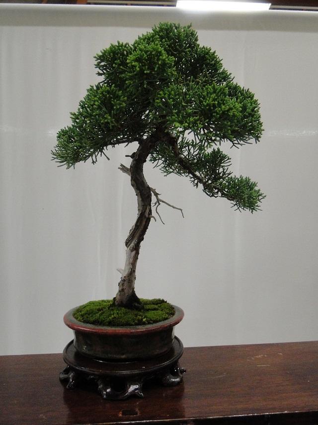 re:maulévrier(49)22°salon du bonsai 8et9septembre 2012 - Page 2 12910