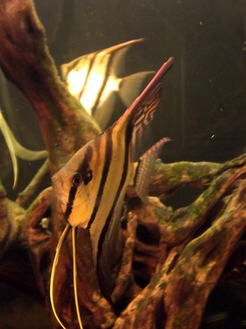 Pterophyllum altum, nanay et manacapuru. Dscf0210