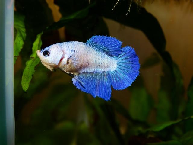 Pearl (SD bleu pastel marbré) Dsc00414