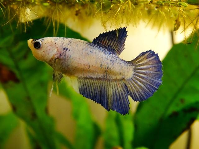 Pearl (SD bleu pastel marbré) Dsc00510