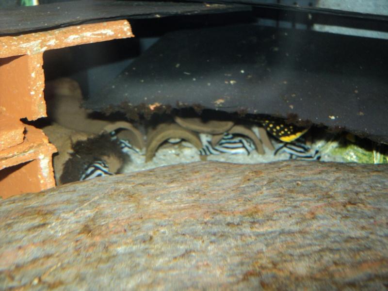 100 litres Hypancistrus Zebra L46 du RIO XINGU! L46_xi10
