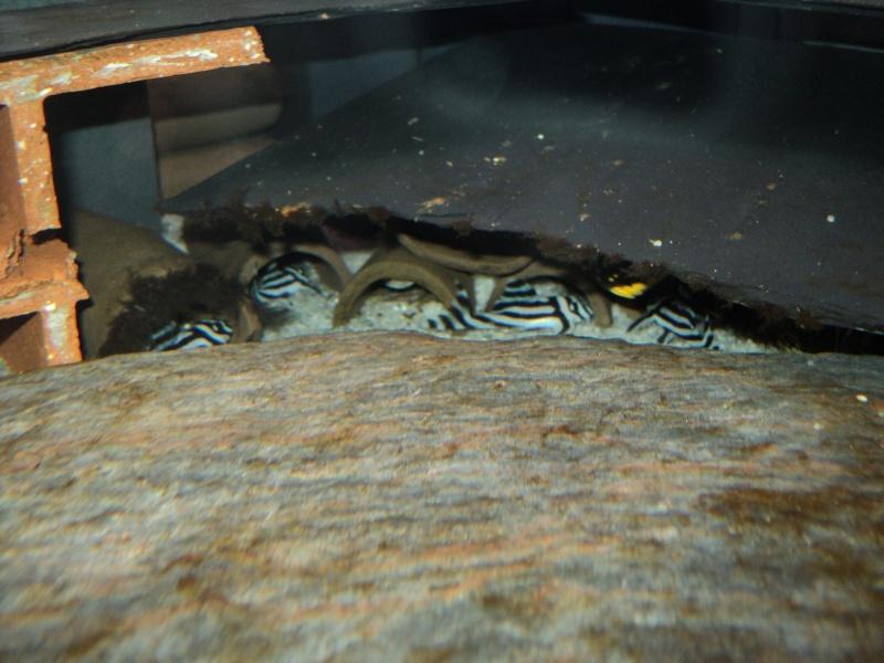 100 litres Hypancistrus Zebra L46 du RIO XINGU! L_46_x10