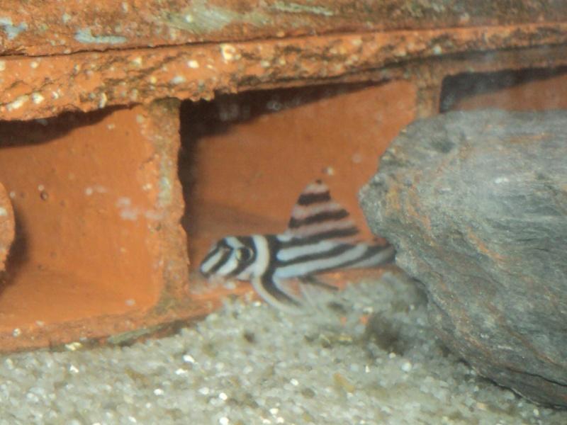 100 litres Hypancistrus Zebra L46 du RIO XINGU! Zebra_10