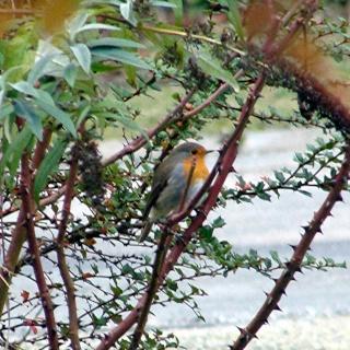Les oiseaux du jardin (28 espèces d'oiseaux observées pour vous) 16-12-10