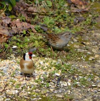 Les oiseaux du jardin (28 espèces d'oiseaux observées pour vous) 1_dsc_10
