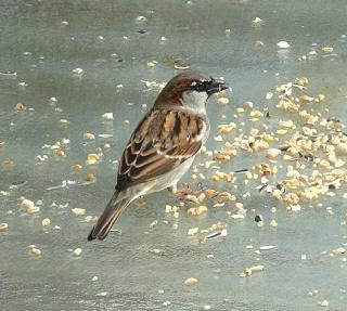Les oiseaux du jardin (28 espèces d'oiseaux observées pour vous) Ds052410