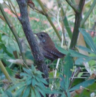 Les oiseaux du jardin (28 espèces d'oiseaux observées pour vous) Dsc02810