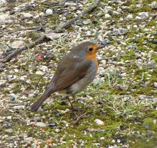 Les oiseaux du jardin (28 espèces d'oiseaux observées pour vous) Dsc03610