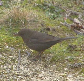 Les oiseaux du jardin (28 espèces d'oiseaux observées pour vous) Dsc03612