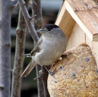 Les oiseaux du jardin (28 espèces d'oiseaux observées pour vous) Dsc03810