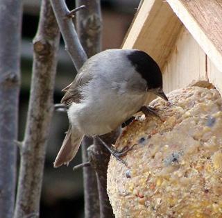 Les oiseaux du jardin (28 espèces d'oiseaux observées pour vous) Dsc03811