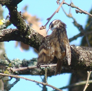 Les oiseaux du jardin (28 espèces d'oiseaux observées pour vous) Dsc03812
