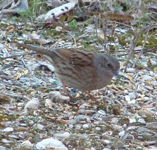 Les oiseaux du jardin (28 espèces d'oiseaux observées pour vous) Dsc04010