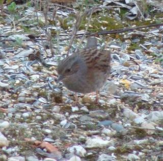 Les oiseaux du jardin (28 espèces d'oiseaux observées pour vous) Dsc04011