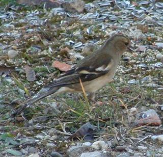 Les oiseaux du jardin (28 espèces d'oiseaux observées pour vous) Dsc04012
