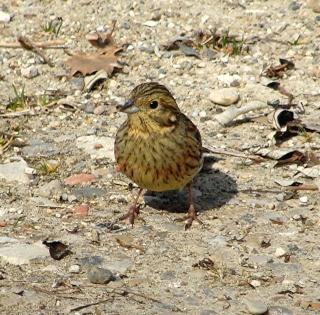 Les oiseaux du jardin (28 espèces d'oiseaux observées pour vous) Dsc04110