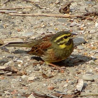 Les oiseaux du jardin (28 espèces d'oiseaux observées pour vous) Dsc04111
