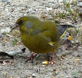 Les oiseaux du jardin (28 espèces d'oiseaux observées pour vous) Dsc04112