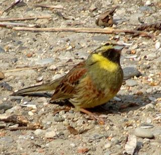 Les oiseaux du jardin (28 espèces d'oiseaux observées pour vous) Dsc04210