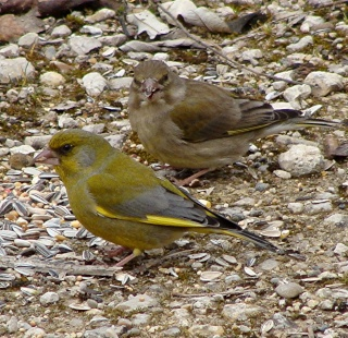 Les oiseaux du jardin (28 espèces d'oiseaux observées pour vous) Dsc04310