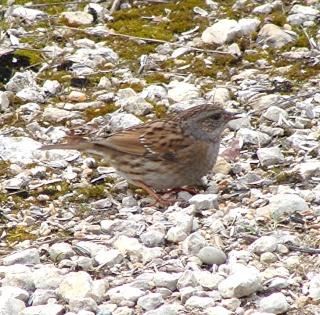 Les oiseaux du jardin (28 espèces d'oiseaux observées pour vous) Dsc04610